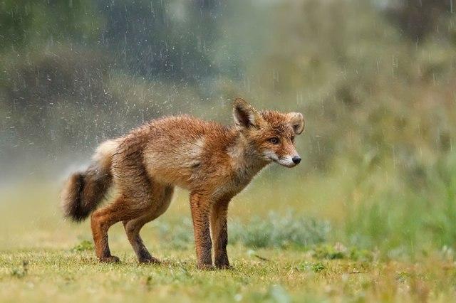 wild foxes11-roeselien raimond