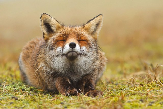 wild foxes12-roeselien raimond
