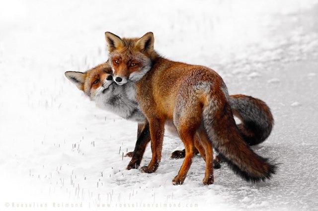 wild foxes13-roeselien raimond