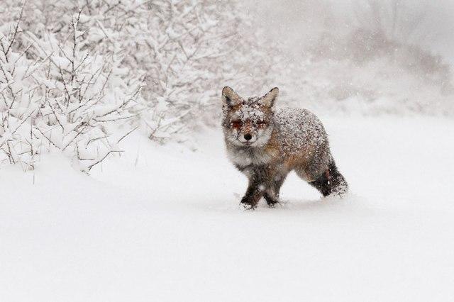wild foxes14-roeselien raimond