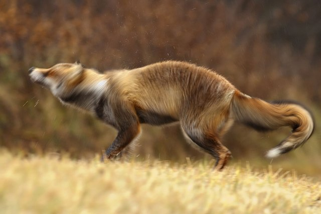 wild foxes15-roeselien raimond
