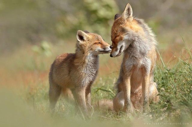 wild foxes2-roeselien raimond