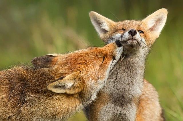 wild foxes4-roeselien raimond
