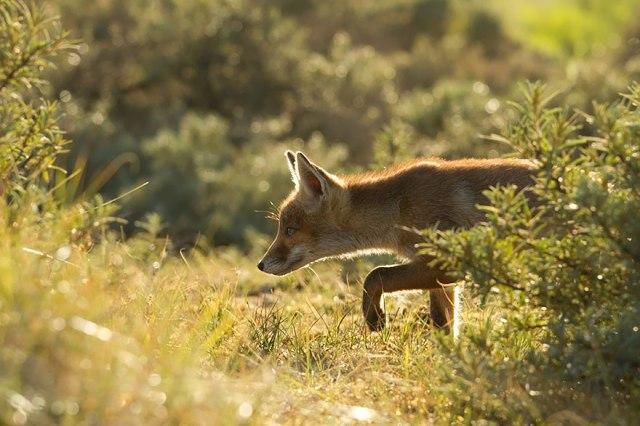 wild foxes9-roeselien raimond