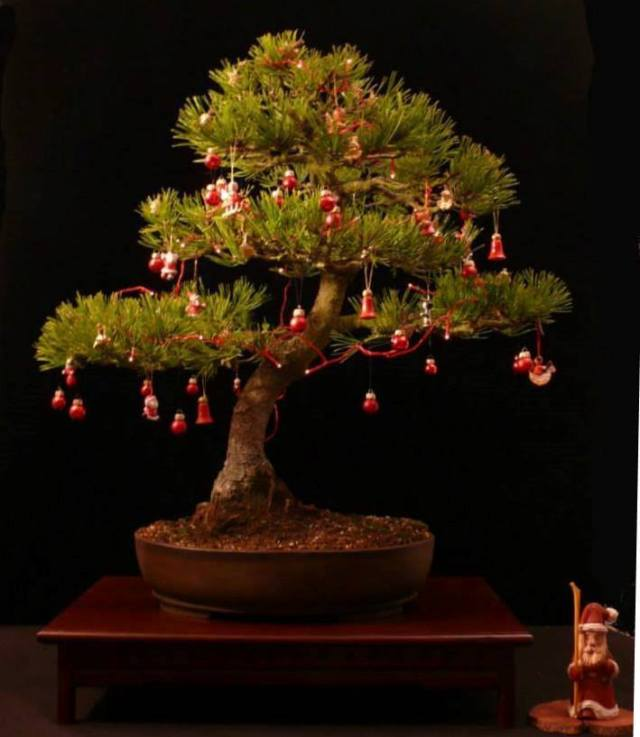 xmas bonsai christmas tree
