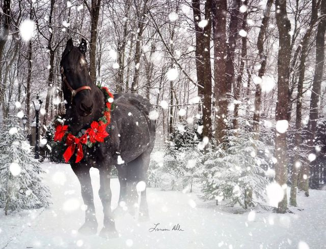 xmas-fresian-black horse photography