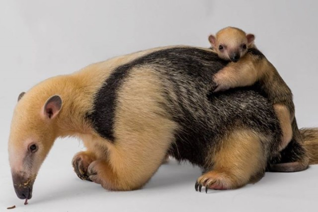 Baby-Anteater-Born-at-Staten-Island-Zoo