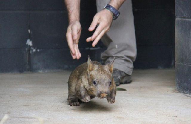 baby sydney-southern hairy nosed wombat-toranga zoo-au