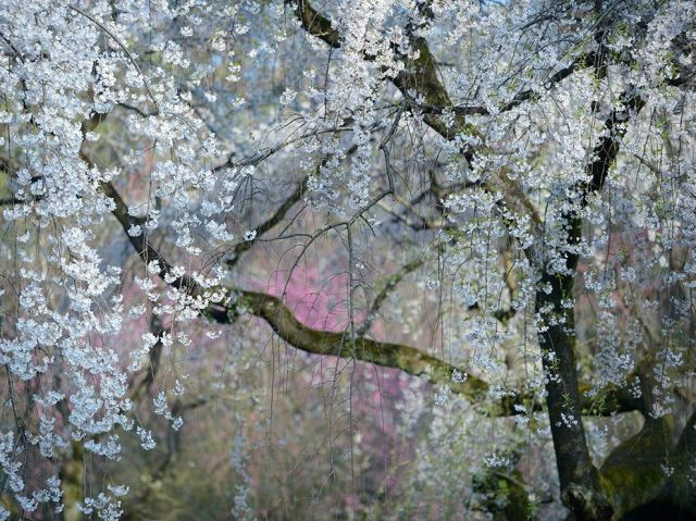 weeping cherry blossoms-imperial palace-kyoto-japan_Yukio Miki