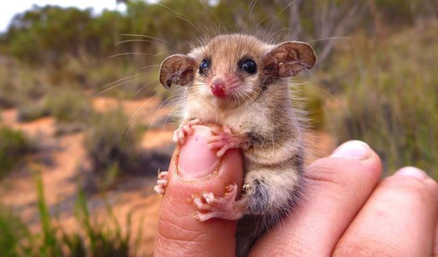 western pygmy possum_amanda mclean