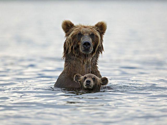 bears swimming-kurile lake-kamchatka-russia_marco mattiussi