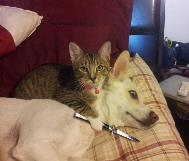 cat holding knife on dog