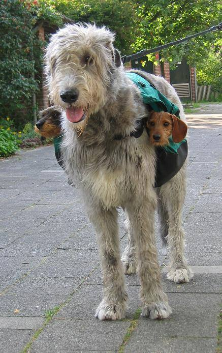 Two Subwoofers-irish wolfhound Guiness w-dachshunds Sarah and Lulu_ida verveen