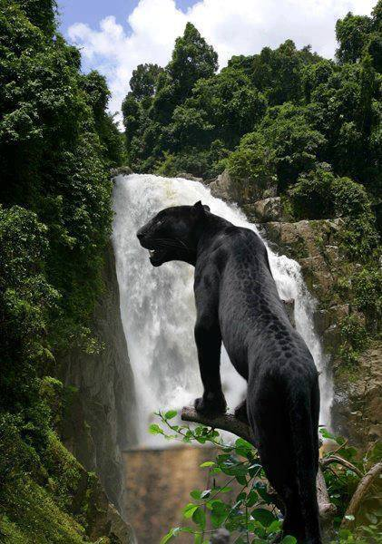 black leopard waterfall