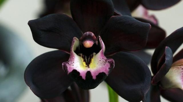 black orchid_Estrellita Mejia