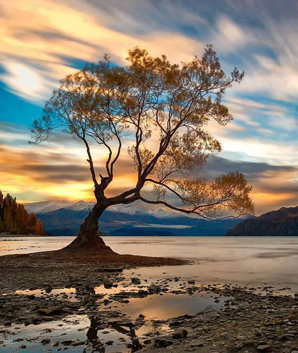 tree-wanaka-nz