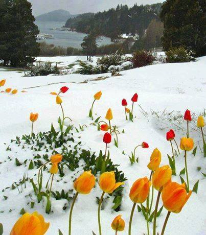 tulips in snow-jeremy ranch-park city-utah
