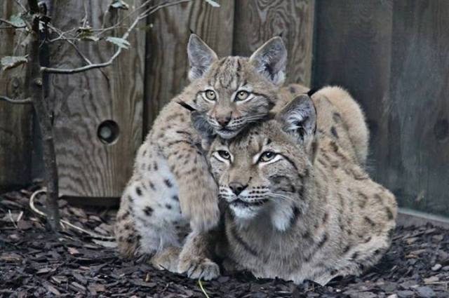 bobcat w-kit