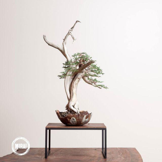 bonsai in new pot
