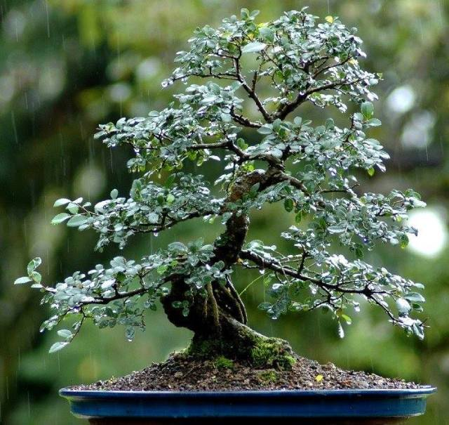 bonsai in rain_Gustavo Celayes