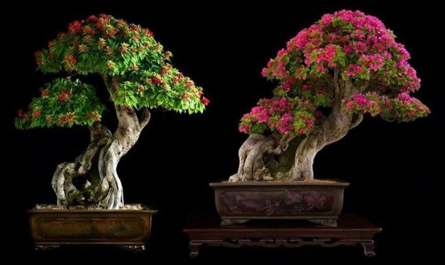 bonsai trees-Jose Angel Marin Herrera