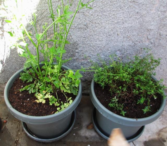 container garden-last years survivors