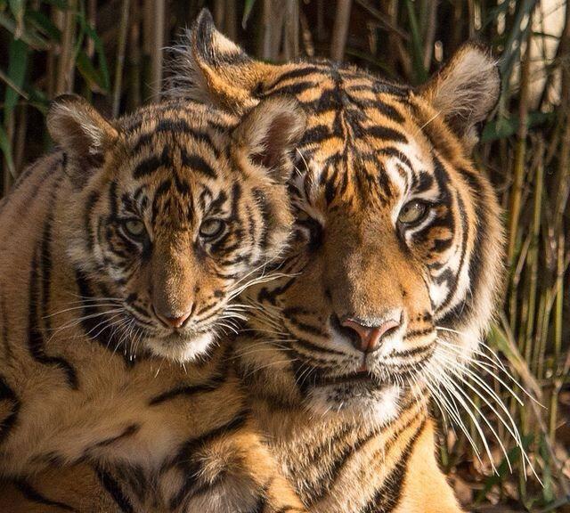 tiger w-cub1