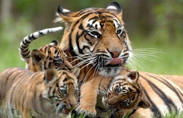 tiger w-cubs