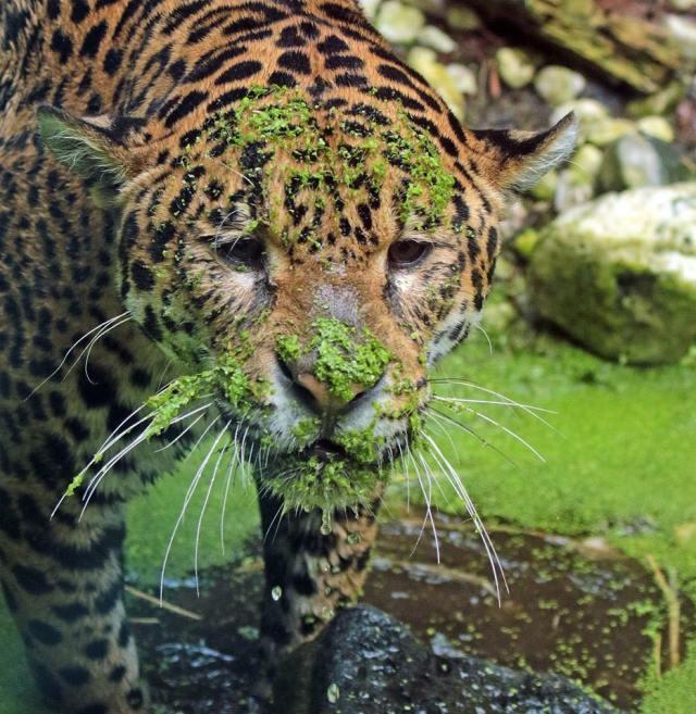 tiger w-mossy face_Joke Kok