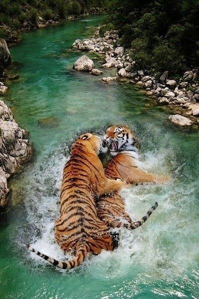 tigers in river