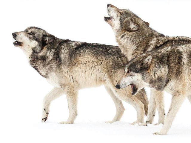 timberwolves howling-wolf park-indiana_petra warner