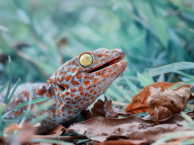 tokay gecko-tangerang-indonesia_iwan pruvic