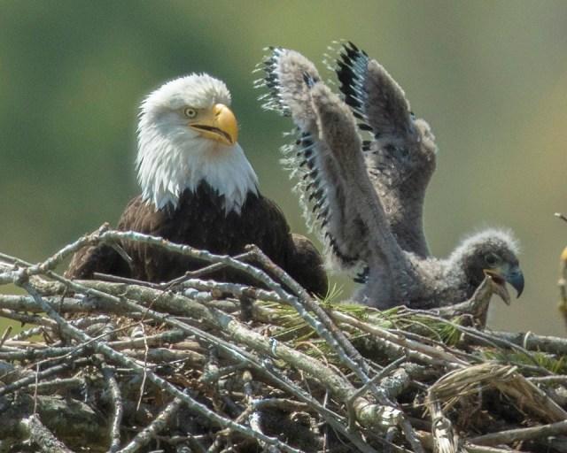 bald eagle w-eaglet