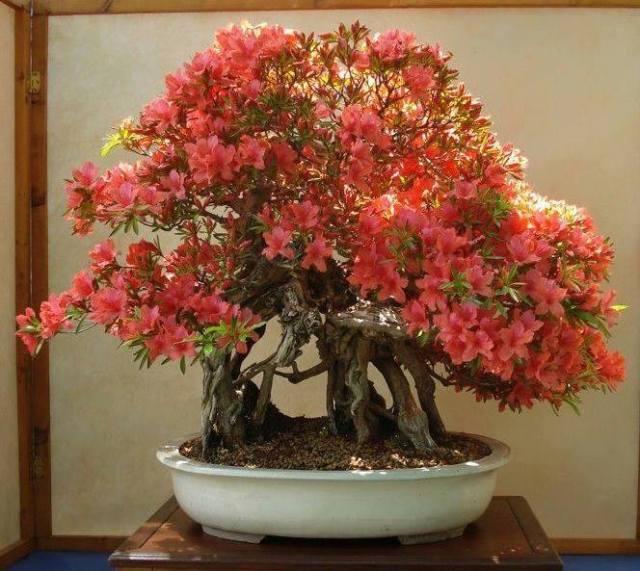 bonsai-Kuanghua Hsiao