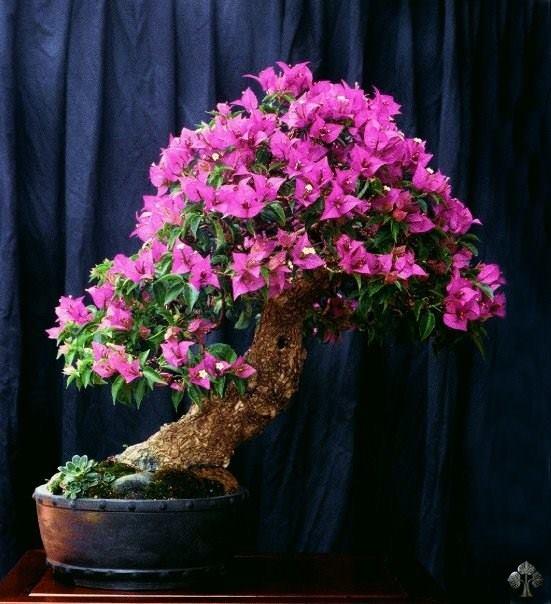 Bougainvillea bonsai_Michele Andolfo