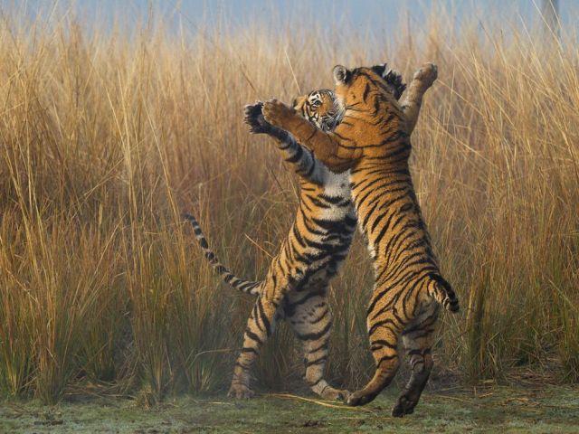 tiger cubs-ranthambore tiger reserve-india_Souvik Kundu