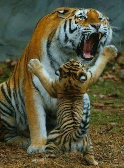 tiger w-cub