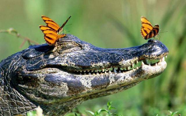 butterflies on crocodile