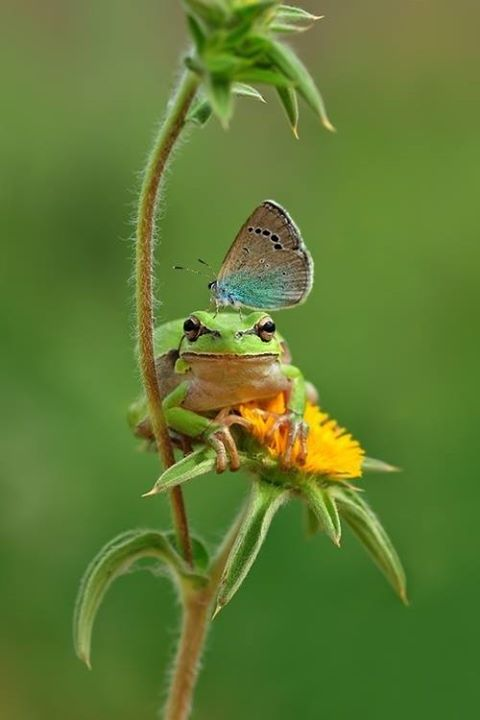 butterfly on frog on dandelion-sildiogo