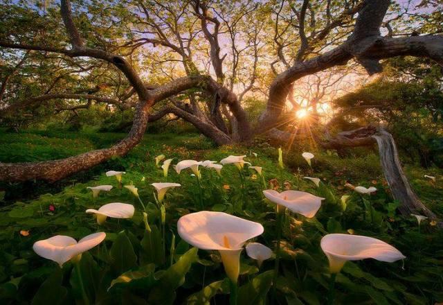 calla lillies-marc adamus
