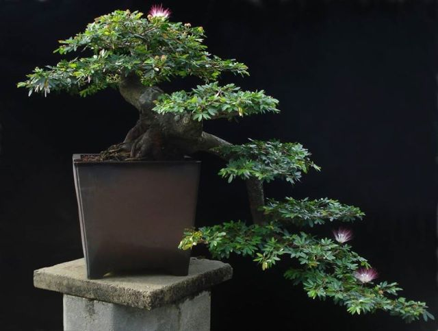 Calliandra schultzei bonsai-Erik Wigert-Ft Myers-FL