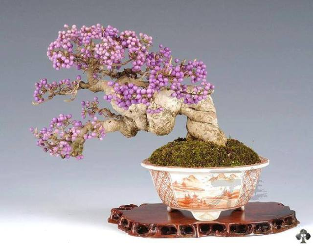 callicarpa japonica bonsai with fruits-associazione rock'n'bonsai