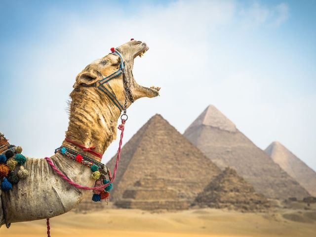 camel yawn-pyramids at giza-cairo-egypt_Claire Thomas