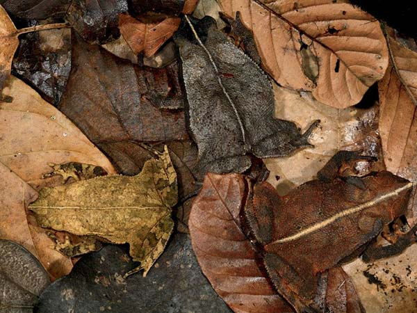 camouflaged leaf toads