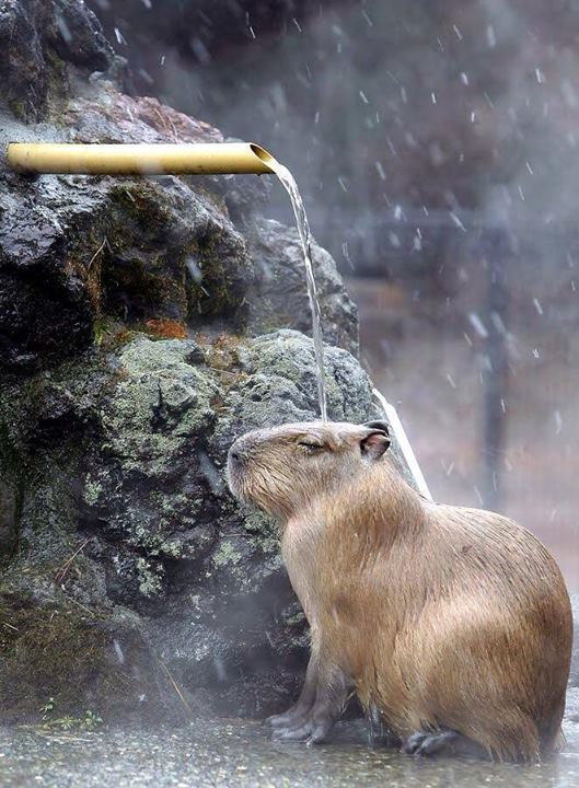 capybara shower
