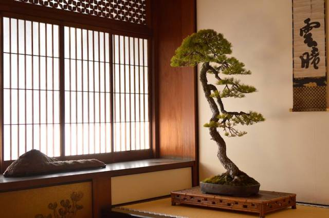 tall pine bonsai