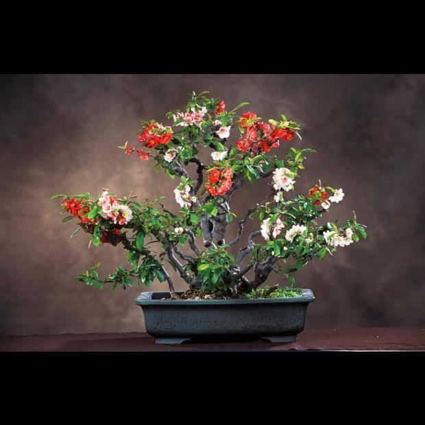 chaenomeles-speciosa-bonsai-120-yrs-old_gustavo-celayes