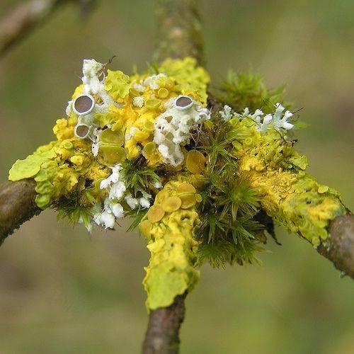 sunburst-lichen-w-bristle-moss