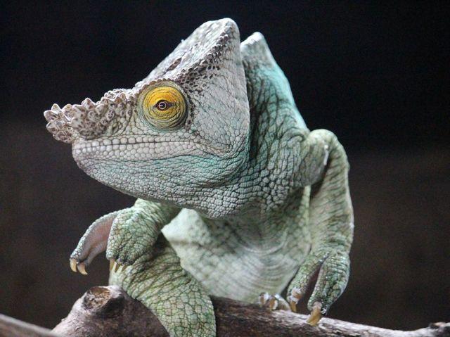 chameleon_florence-bennett
