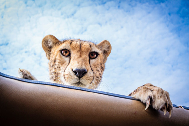 cheetah-looking-on-serengeti